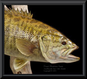 New York Smallmouth Bass Skin Mount