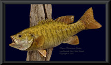 Canadian Smallmouth Bass Skin Mount