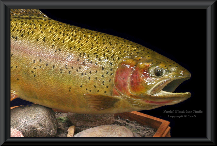 Cutbow trout fiberglass fish replicas reproductions for Fiberglass fish replicas