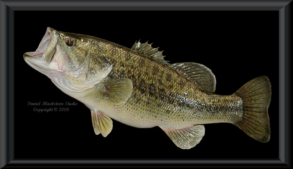 Largemouth bass fish mounts replicas for Bass fish images