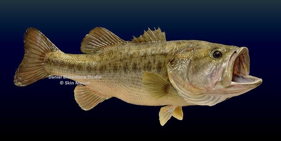 Largemouth bass fish mounts replicas for Florida state fish