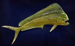 Mahi Mahi Dolphin Fish Replicas Amp Reproductions