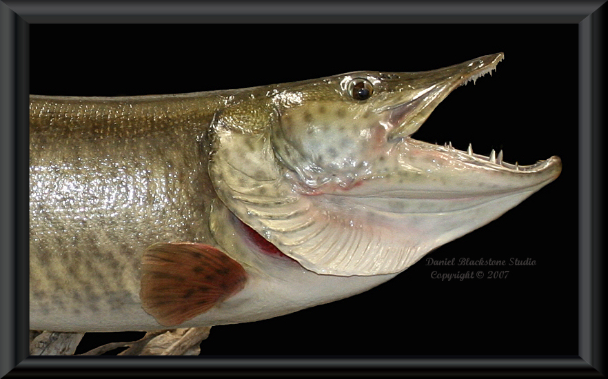 Muskie fish mounts replicas for Muskie fish pictures