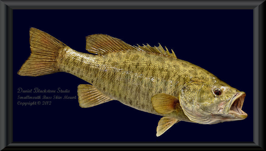 Smallmouth bass fish mounts replicas for How to mount a fish
