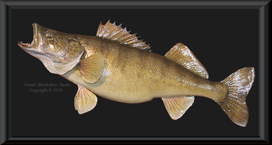 Below are images of Walleye skin mounts  amp  Walleye replicasWalleye Pictures
