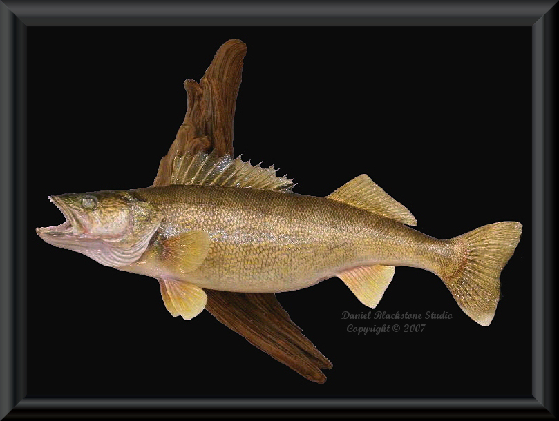 Walleye fish mounts replicas for How to mount a fish