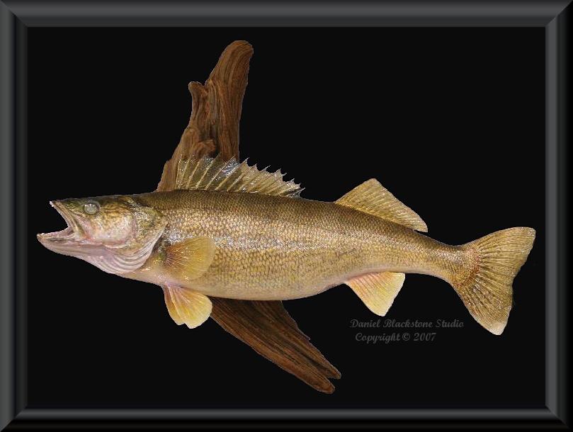 Walleye fish mounts replicas for Replica fish mounts