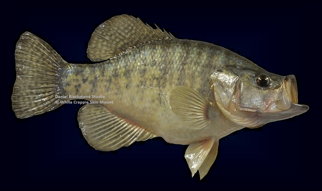 White crappie fish mounts replicas for What is a crappie fish