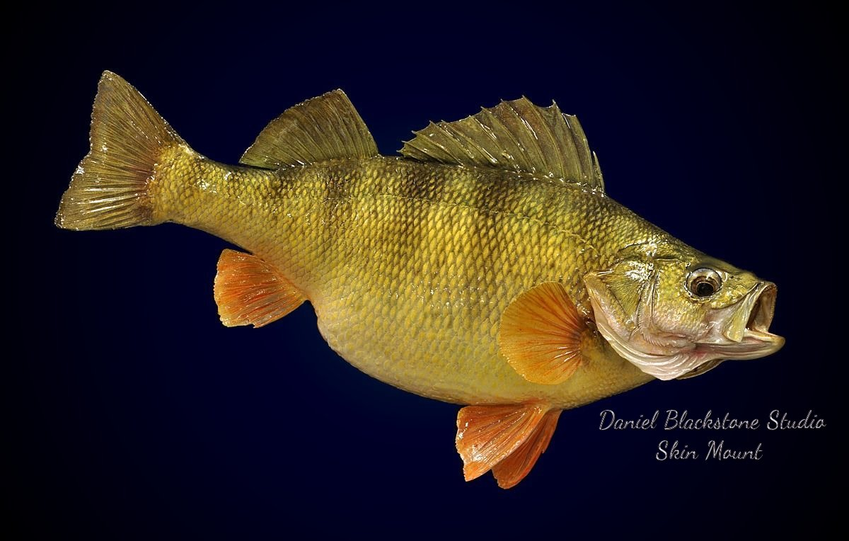 Image gallery perch mounts for Perch fish facts